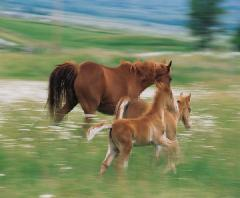 Adult horse and 2 young horses running