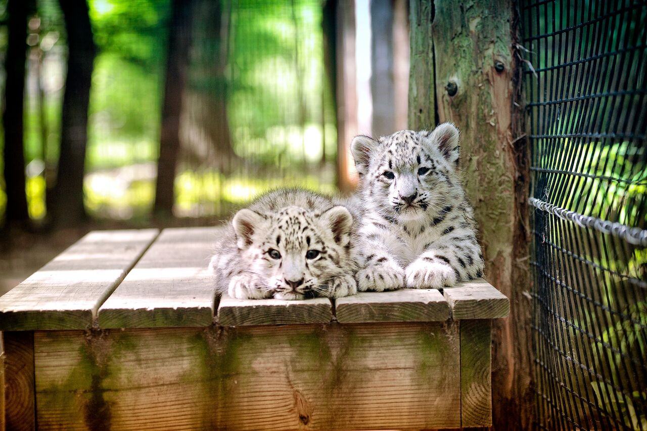 Zoo - Snow Leopards cubs