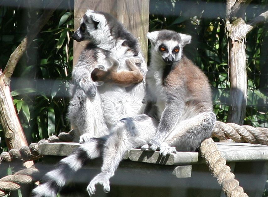 Ring tail lemur