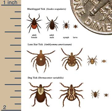 Chart showing sizes of different ticks